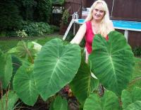 Colocasia Pink China