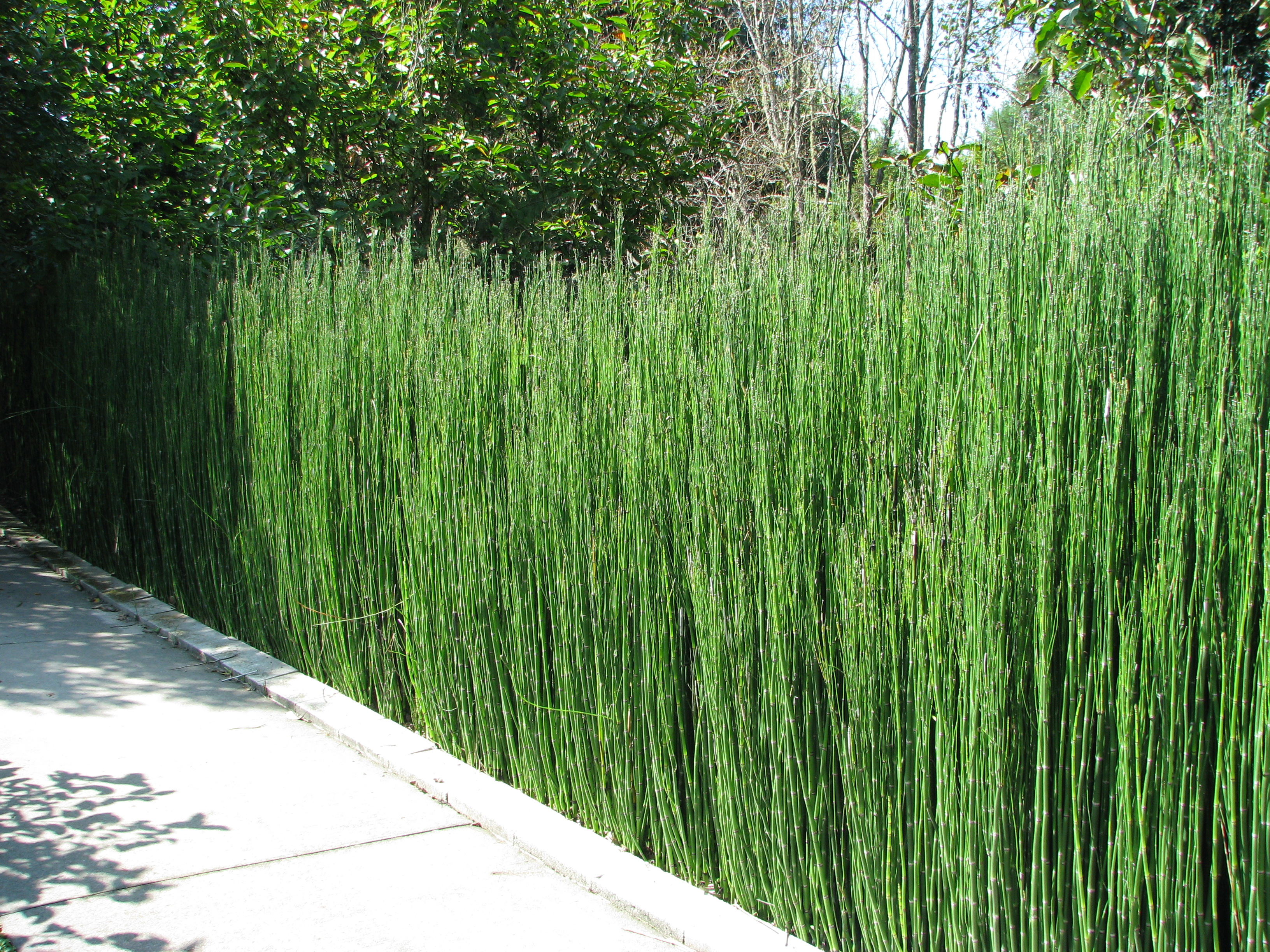 Equisetum on pinterest horse tail bamboo and grass Long grass plants